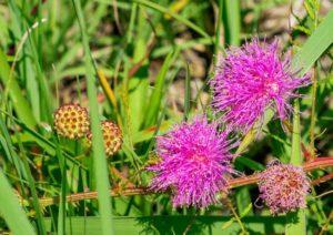 priaire wild flowers